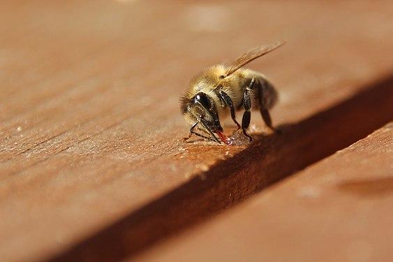 Pszczoła 2020 03.JPG