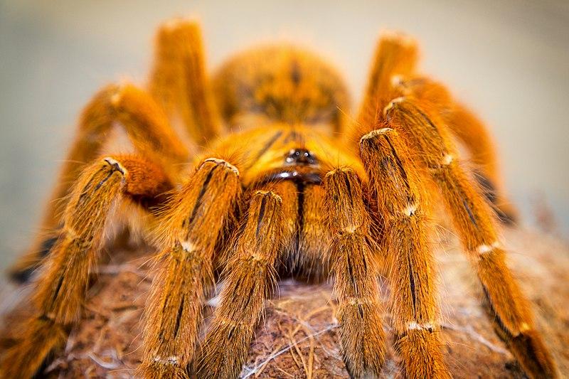 File:Pterinochilus murinus RCF-2.jpg