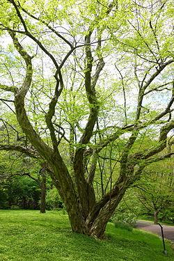 Pteroceltis tatarinowii - Morris Arboretum - DSC00350.JPG