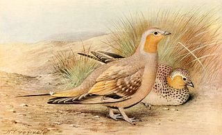 Spotted sandgrouse Species of bird