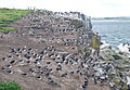 Puffins north of the jetty, Inner Farne - geograph.org.uk - 1379362.jpg