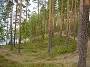 Punkaharju forest.JPG