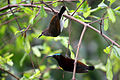 Purple-rumped Sunbird - pair.jpg