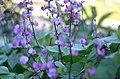 Purple Bean Flower (161493937).jpeg