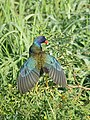 Purple Gallinule (25805979577).jpg