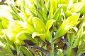 Puya chilensis Zapallar 05.jpg