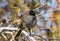 Pycnonotus xanthopygos - Yellow-vented Bulbul, Adana 2016-12-25 03-4.jpg
