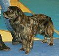 Pyrenean Shepherd short-haired brindle.jpg