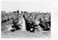 Queensland State Archives 4799 Tobacco farm Clare c 1952.png