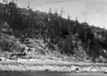 Queensland State Archives 956 Hoop pines Carlisle Island c 1931.png
