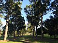 Queensland kauri plantings along Sir Mathew Nathan Avenue at Sherwood Arboretum 2015.JPG