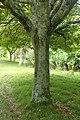 Quercus glauca kz03.jpg