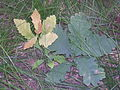 Quercus robur seedlings.JPG