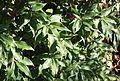 Quercus salicina - Quarryhill Botanical Garden - DSC03410.JPG