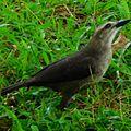 Quiscalus lugubris femelle (Icteridae).jpg