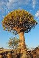 Quiver Tree Forest, Keetmanshoop (3166041255).jpg