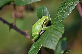 Raganella italiana (Hyla intermedia) - Italian tree frog, Milano, Italia, 09.2018 (8).jpg
