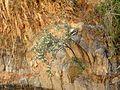 Ragged Rockflower - Flickr - treegrow (1).jpg
