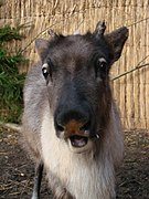 Rangifer tarandus (Wroclaw zoo) - young - face.JPG