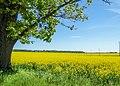 Rapeseed field in Latvia.jpg
