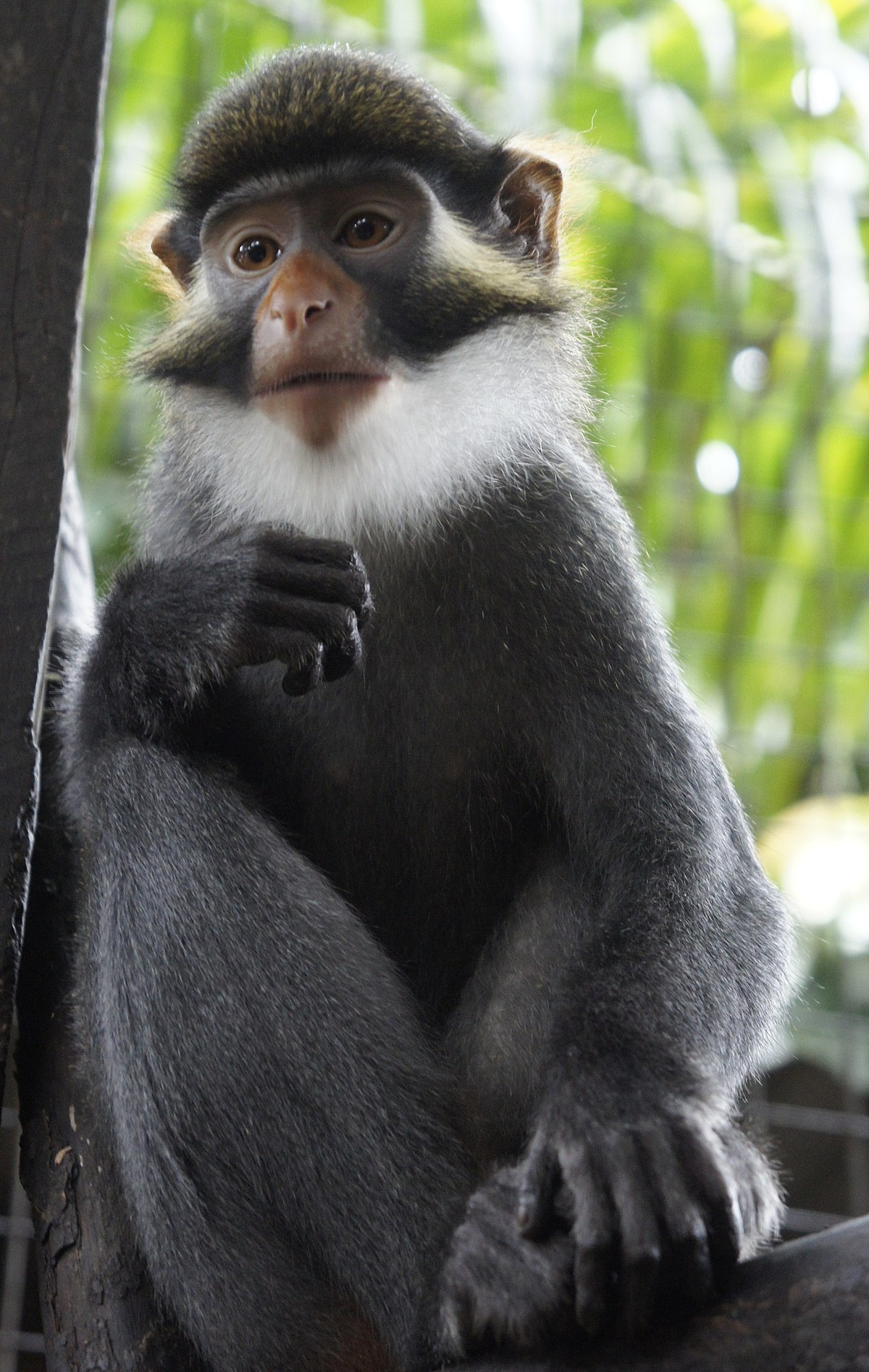 Red-eared guenon - Wikipedia Pale Green Blue Eyes