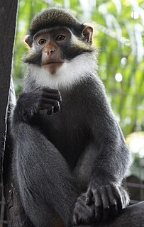 Red-eared guenon species of mammal
