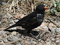 Red-billed Buffalo Weaver RWD.jpg