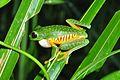 Red-eyed Leaf Frog (Agalychnis callidryas) (9594166940).jpg