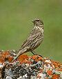 Red-fronted Rosefinch (Carpodacus puniceus) (36217217182).jpg