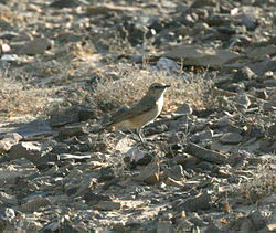 Red-tailed Wheatear (Oenanthe chrysopygia).JPG