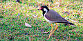 Red-wattled Lapwing foraging.jpg