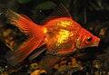 Red Goldfish in Aquarium.jpg