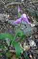Red Helleborine^ Cephalanthera rubra - Flickr - gailhampshire.jpg