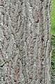 Red Oak Quercus Rubra Bark Vertical High DoF.JPG