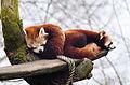 Red Panda (16732502600).jpg