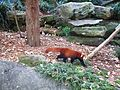 Red Panda in Taronga Zoo (1).jpg