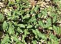 Red Trillium, Bloody Butcher (Trillium recurvatum) - Flickr - Jay Sturner.jpg