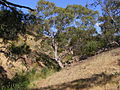 Red gum cobbler creek.jpg