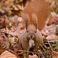 Red squirrel (49383173961).jpg