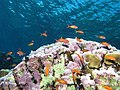 Reef scene with coralline algae (and fish and other stuff) (6159016994).jpg