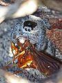 Regal Jumping Spider with Wasp - Phiddipus regius, Eco Pond, Everglades National Park, Homestead, Florida.jpg