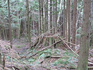 Reforestation - Forest regrowth in Mount Baker-Snoqualmie National Forest, Washington state, USA