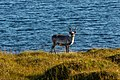 Reno (Rangifer tarandus), Honningsvåg, Noruega, 2019-09-03, DD 36.jpg