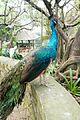 Respendent peacock (25475379523).jpg