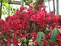 Rhododendron 'Enzette Schloss Pillnitz' 03.JPG