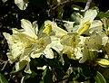 Rhododendron burmanicum 2.jpg