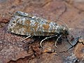 Rhyacionia pinivorana - Spotted shoot moth (40566692614).jpg