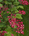 Ribes sanguineum A.jpg