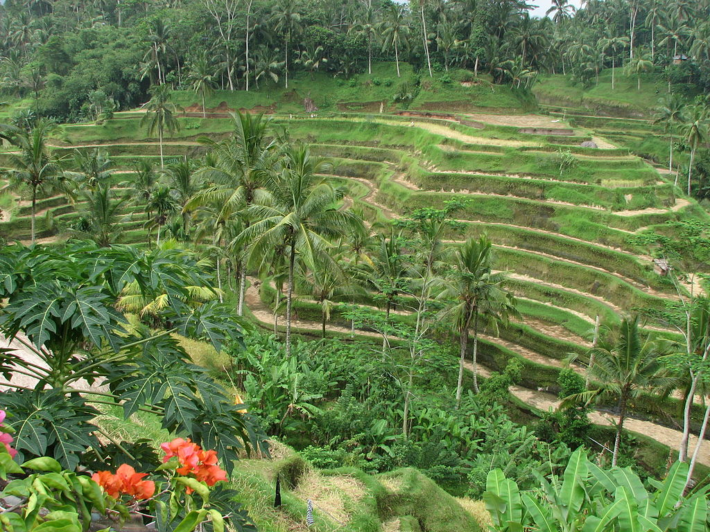 File rice terrace in wikimedia commons for Terrace ubud bali