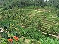 Rice Terrace in Ubud.jpg